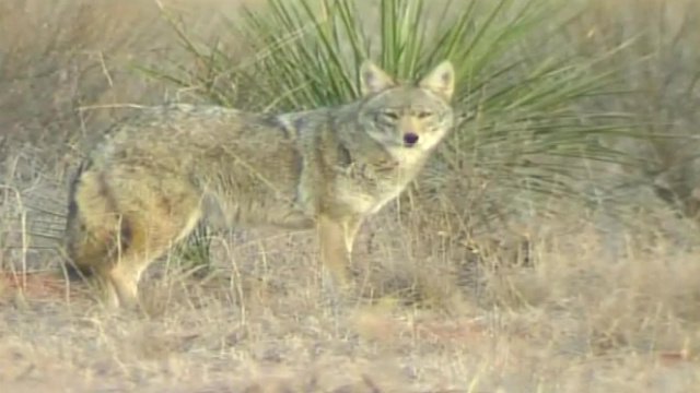 Austin teen says coyote attacked him near his home