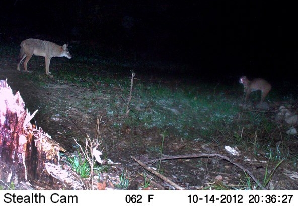 Coyote vs. Bobcat